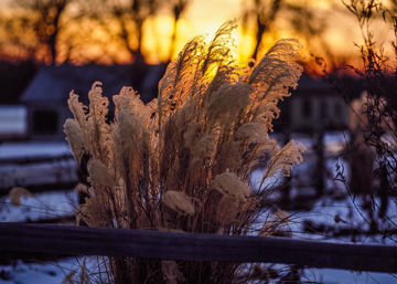 Picture of Plate 1 - Sunset Grasses